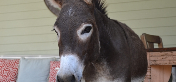 Donkey in a house next to a sofa and a table